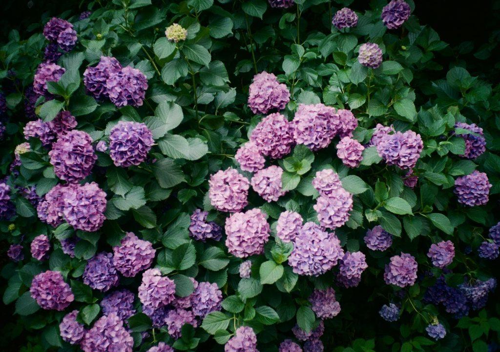 リコーオートハーフの作例紫陽花